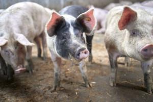 Bio Planet lokaal-zero-waste-varkensvlees-1